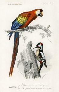 free printable parrot illustration